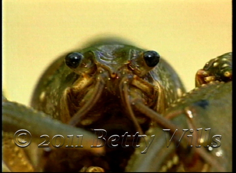 Crayfish Eyes