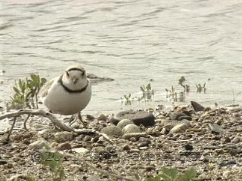 Plover Beside Clutch