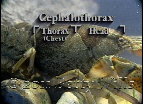 Crayfish Thorax