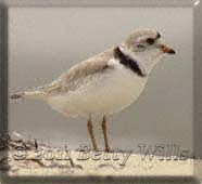 Adult Plover