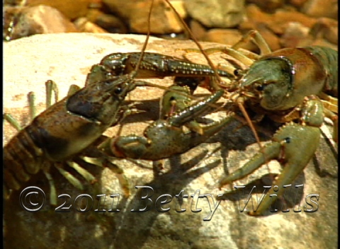 Fighting Crayfish
