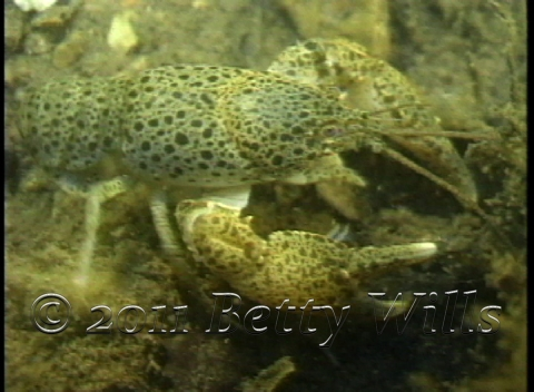 Spotted Crayfish