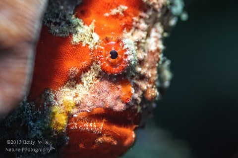 Long Lured Frogfish
